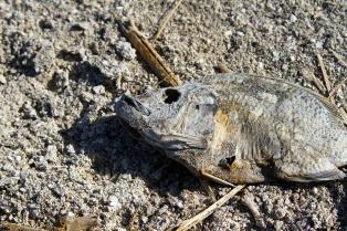 Salton Sea Fishy
